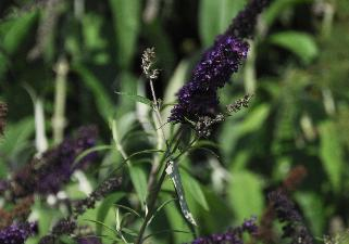 BuddlejadavidiiBlackKnightflowercloseup