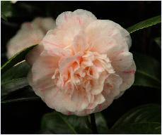 Camellia japonica 'Jury's Yellow '