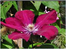 Clematis' Rouge Cardinal' vn