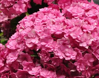 Hydrangea macrophylla 'You and MeTogether' bloem